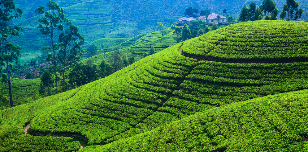 Tea fields in the mountain area in Nuwara Eliya